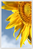 Sunflower - Flowers